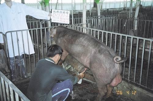 台灣種豬發展協會9503期D1581-06採精相片