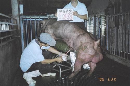 台灣種豬發展協會9504期D0725-05採精相片