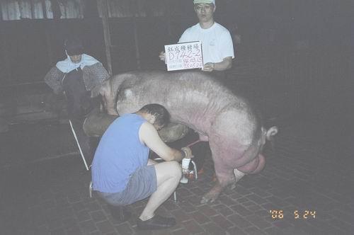 台灣種豬發展協會9504期D0742-02採精相片