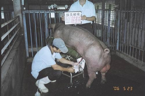 台灣種豬發展協會9504期D1066-02採精相片