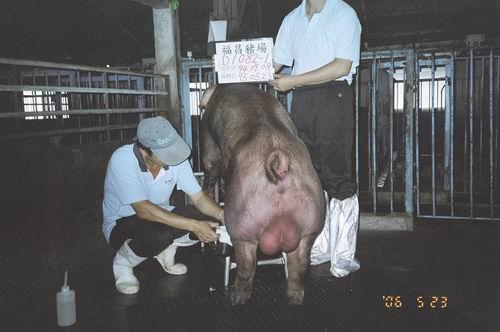 台灣種豬發展協會9504期D1082-01採精相片
