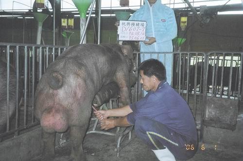 台灣種豬發展協會9504期D1607-07採精相片