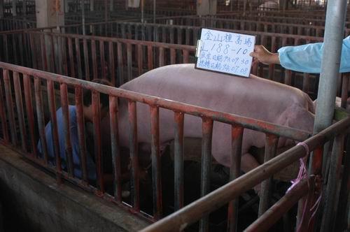 台灣種豬發展協會9405期L0188-10採精相片
