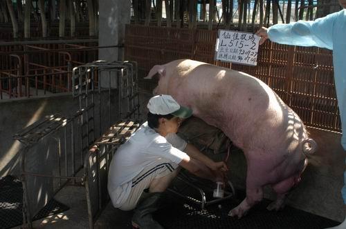 台灣種豬發展協會9405期L0515-02採精相片