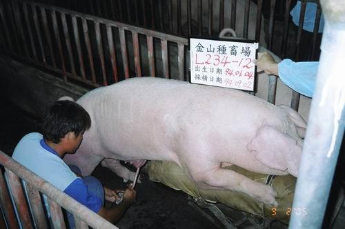 台灣種豬發展協會9406期L0234-12採精相片