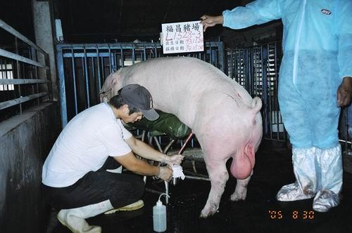 台灣種豬發展協會9406期L1528-03採精相片