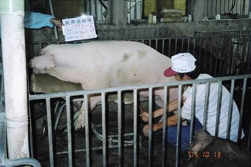 台灣種豬發展協會9407期L1993-12採精相片
