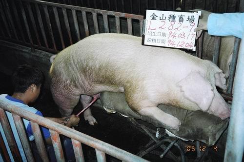 台灣種豬發展協會9408期L0282-09採精相片