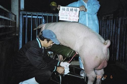 台灣種豬發展協會9408期L1627-06採精相片
