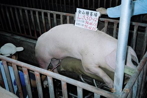 台灣種豬發展協會9502期L0330-12採精照片