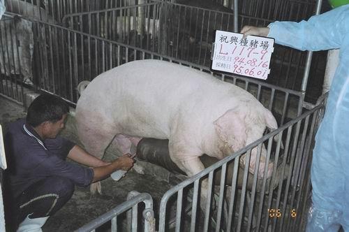 台灣種豬發展協會9504期L0117-09採精相片