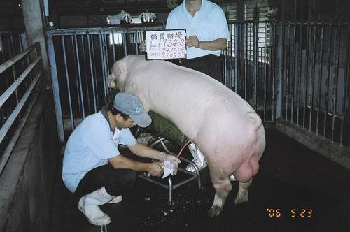 台灣種豬發展協會9504期L1734-02採精相片