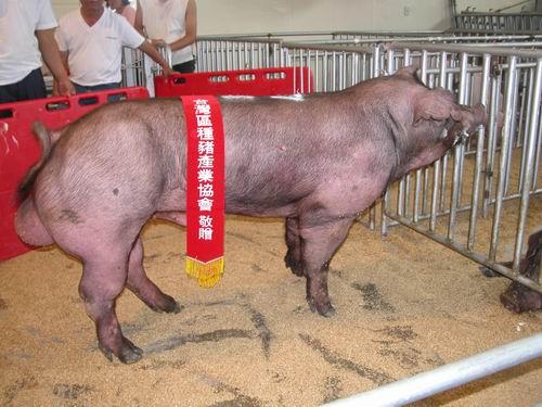 台灣種豬發展協會9504期D0725-05拍賣照片(高價豬)