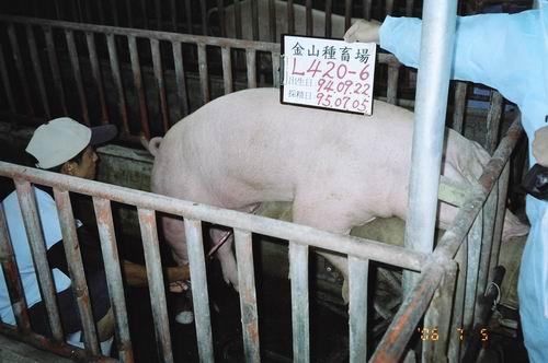 台灣種豬發展協會9505期L0420-06採精相片