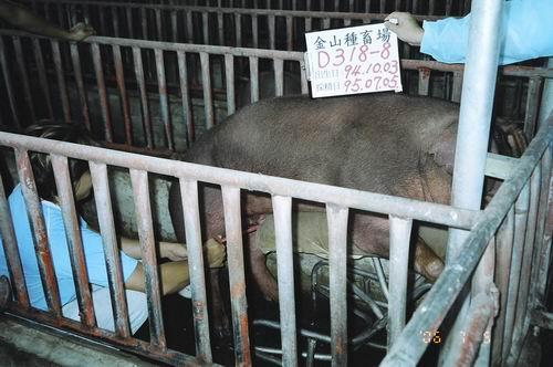 台灣種豬發展協會9505期D0318-08採精相片