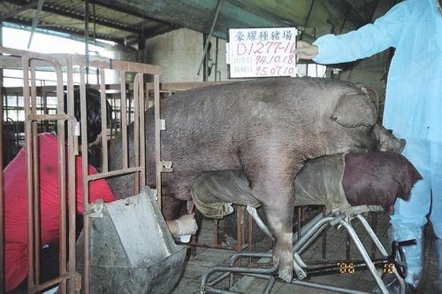 台灣種豬發展協會9505期D1277-11採精相片