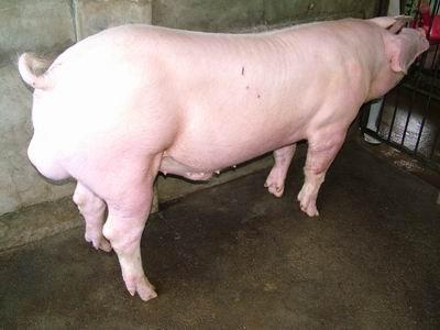 台灣動物科技研究所竹南檢定站94-11期L0471-09種公豬拍賣相片