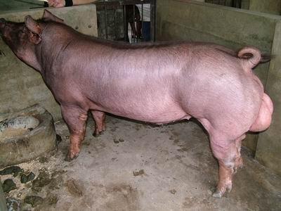 台灣動物科技研究所竹南檢定站94-11期D0272-02種公豬拍賣相片
