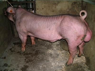 台灣動物科技研究所竹南檢定站94-11期D1854-10種公豬拍賣相片