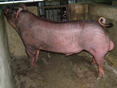 台灣動物科技研究所竹南檢定站94-11期D0002-34種公豬拍賣相片