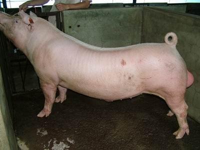 台灣動物科技研究所竹南檢定站94-11期L0427-05種公豬拍賣相片
