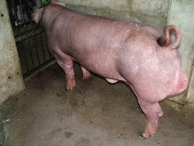 台灣動物科技研究所竹南檢定站94-11期D1143-02種公豬拍賣相片