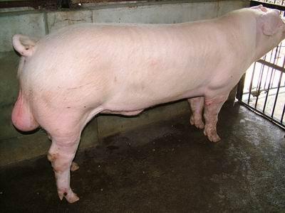 台灣動物科技研究所竹南檢定站94-11期L0626-06種公豬拍賣相片