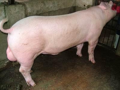 台灣動物科技研究所竹南檢定站94-11期L1258-10種公豬拍賣相片