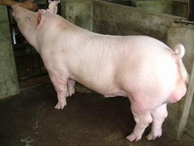 台灣動物科技研究所竹南檢定站94-11期Y0134-04種公豬拍賣相片
