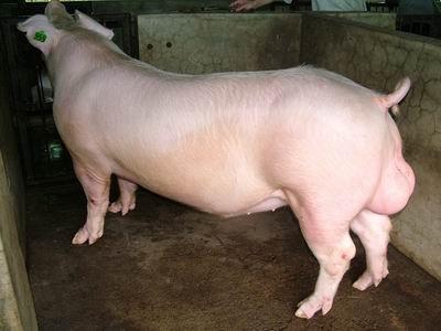 台灣動物科技研究所竹南檢定站94-09期L1217-13種公豬拍賣相片