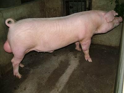 台灣動物科技研究所竹南檢定站9412期L0466-04種公豬拍賣相片