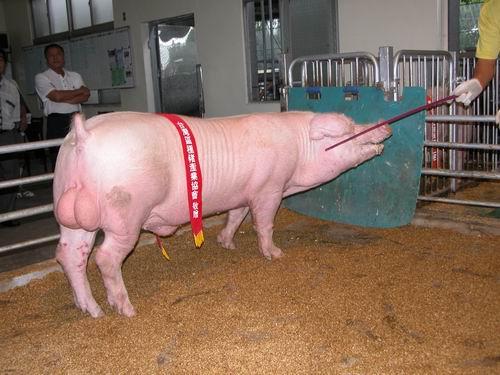 台灣種豬發展協會9505期L0452-04拍賣照片(高價豬)