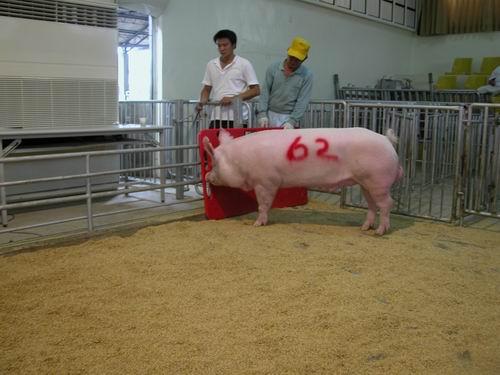 中央畜產會200601期Y0162-04拍賣相片(高價豬)