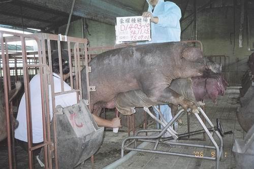 台灣種豬發展協會9506期D1403-10拍賣照片