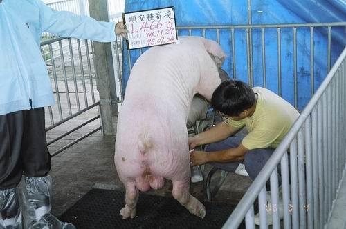 台灣種豬發展協會9506期L0466-05拍賣照片
