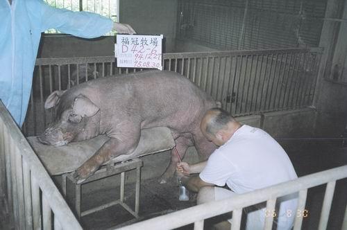 台灣種豬發展協會9506期D0042-06拍賣照片