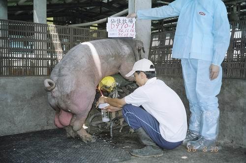 台灣種豬發展協會9506期D0970-01拍賣照片