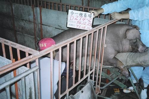 台灣種豬發展協會9506期D0274-02拍賣照片