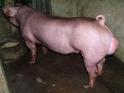台灣動物科技研究所竹南檢定站9501期D1864-17種公豬拍賣相片