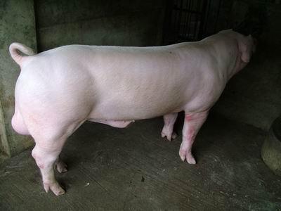 台灣動物科技研究所竹南檢定站9501期L0597-02種公豬拍賣相片