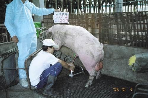 台灣種豬發展協會9507期L0017-04拍賣照片