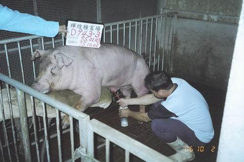 台灣種豬發展協會9507期D0943-03拍賣照片