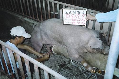 台灣種豬發展協會9507期D0415-07拍賣照片