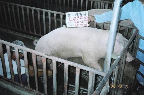 台灣種豬發展協會9507期L0499-10拍賣照片