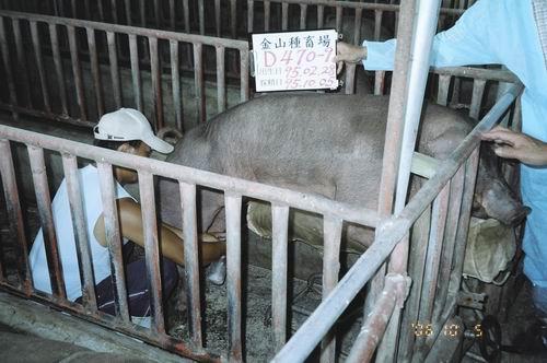 台灣種豬發展協會9507期D0470-09拍賣照片