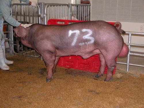 中央畜產會200603期D1252-02拍賣相片(高價豬)