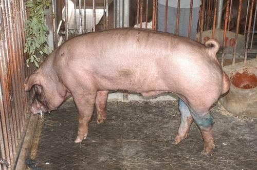 中央畜產會200603期D1867-11體型-全身相片