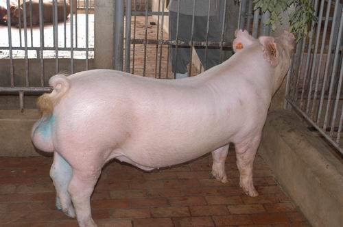 中央畜產會200603期Y0178-03體型-全身相片