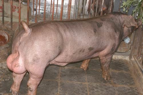中央畜產會200603期D1174-10體型-全身相片