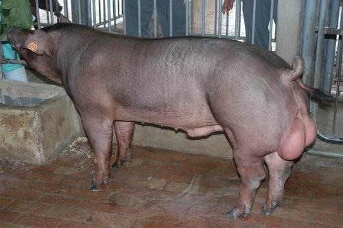 中央畜產會200604期D0096-02體型-全身相片